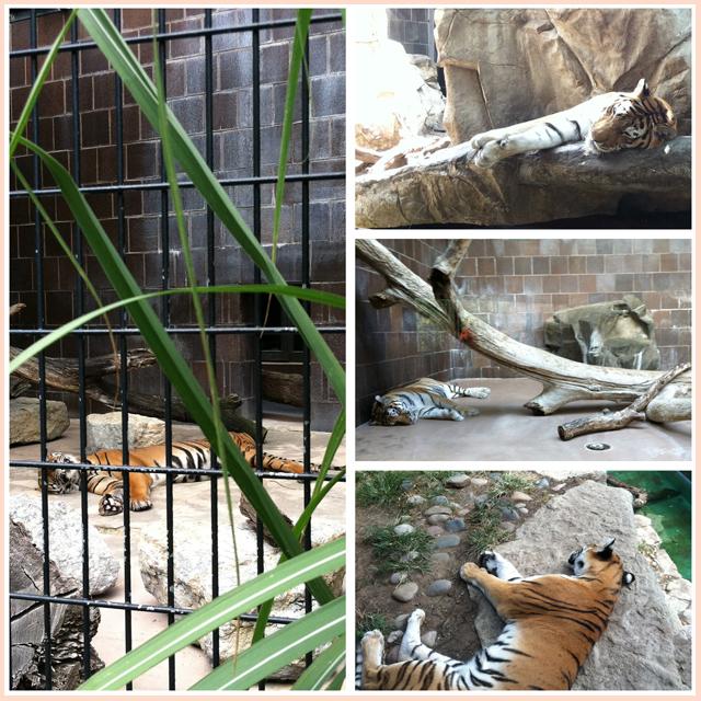 Omaha Zoo Tigers