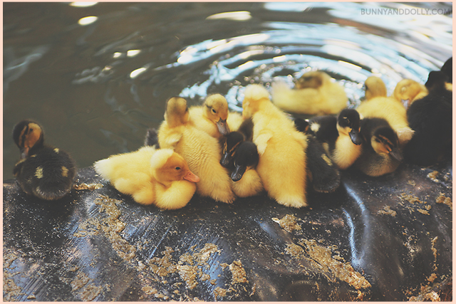 ducklings near water
