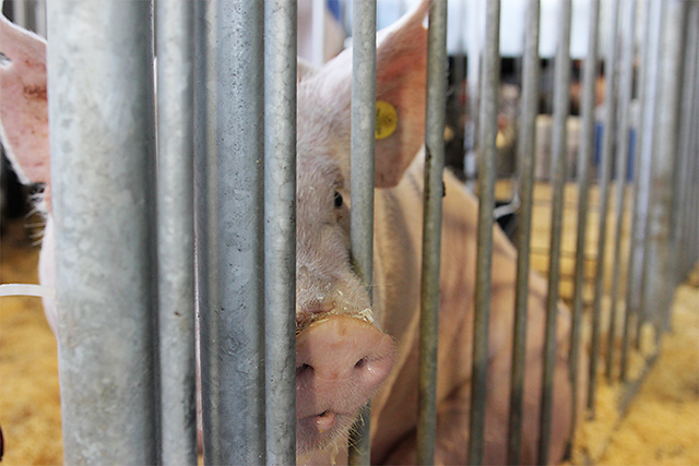 pig snout at iowa state fair